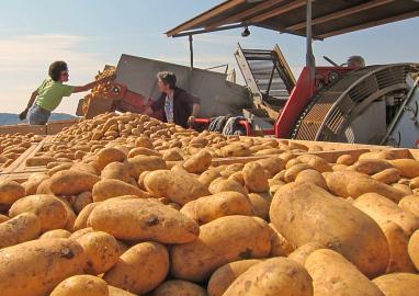 richtige lagerung von kartoffeln